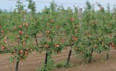 A föld színéről is eltűnhet a magyar alma